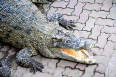 Crocodylussiamensis royalty-vrije stock foto's