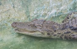 Crocodylussiamensis i zoo royaltyfria foton