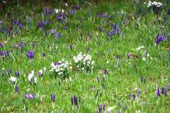 Crocoidaea selvagem branco e roxo Fotografia de Stock Royalty Free