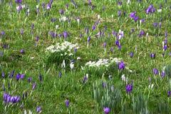 Crocoidaea selvagem branco e roxo Fotos de Stock Royalty Free