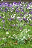 Crocoidaea selvagem branco e roxo Fotos de Stock