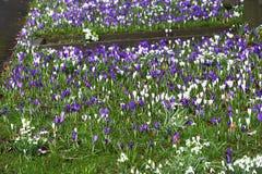 Crocoidaea selvagem branco e roxo Imagens de Stock Royalty Free