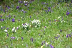 Crocoidaea selvagem branco e roxo Foto de Stock Royalty Free
