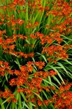 Crocosmia Stock Photos