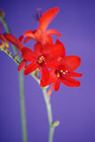 Crocosmia Stock Photography