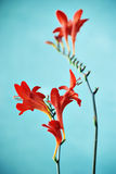 Crocosmia Royalty Free Stock Image