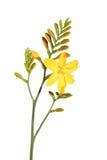 Crocosmia amarillo (Montbretia), Fotografía de archivo