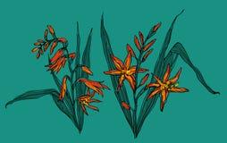 Crocosmia-Blume in der Blüte Botanische Illustration Lizenzfreie Stockfotos