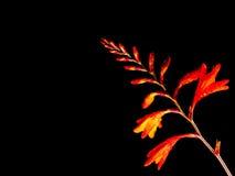 Crocosmia crocosmiiflora Stock Images