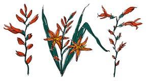 Crocosmia flower in blossom. Botanical Illustration. Royalty Free Stock Images