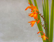 Crocosmia flowers Stock Photo