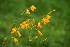Crocosmia Flowers Stock Images