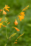 Crocosmia Flowers Royalty Free Stock Photography