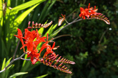 Crocosmia Lucifer Stock Photography