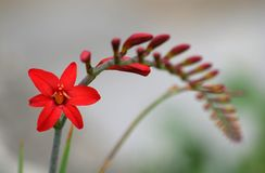 Crocosmia 'Lucifer'. Beautiful flowers of Crocosmia 'Lucifer stock photo