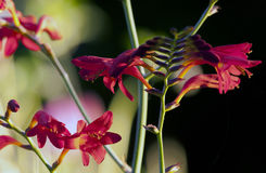 Crocosmia 'Lucifer' flower at black background Royalty Free Stock Photo