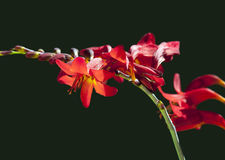 Crocosmia 'Lucifer' flower at black background Stock Photography