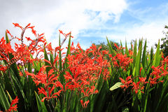 Crocosmia 'Lucifer' Royalty Free Stock Images
