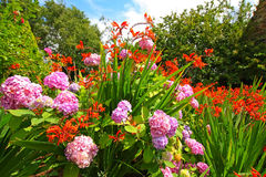 Crocosmia 'Lucifer' and pink hydrangeas Stock Photography