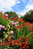 Crocosmia 'Lucifer' and pink hydrangeas Royalty Free Stock Photo