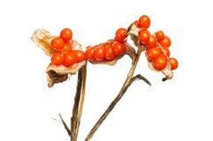 Crocosmia seeds closeup. Closeup of crocosmia seeds isolated against white stock images