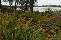 Crocosmia y x28 anaranjados hermosos; Columbus& x29; flores Imágenes de archivo libres de regalías