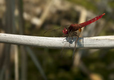 Crocothemis erythraea Royalty Free Stock Images