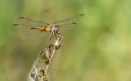 Crocothemis erythraea female Royalty Free Stock Image