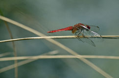 Crocothemis erythraea - Scarlet Dragonfly (male) Royalty Free Stock Photos