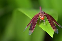 Red scarlet dragonfly resting on a green leaf royalty free stock photography