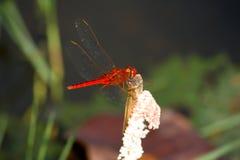 Crocothemis servilia - Scarlet Skimmer Stock Images