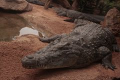 Crocrodile. African Crocodile in the zoopark of Valencia Royalty Free Stock Photo