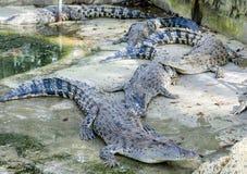 Crocs en Alligators in hun kooi royalty-vrije stock afbeelding