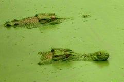 Crocs im Heimlichkeitsmodus Stockbild