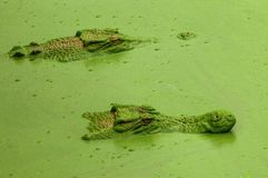 Crocs in stealth mode. A crocodile& x27;s stealth mode is second to none when hunting their prey stock image