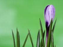 Free Crocus 02 Royalty Free Stock Photo - 570975