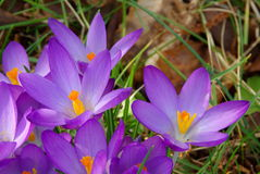 Crocus 07 Stock Photography