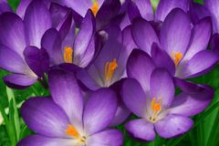 Crocus!. Some happy crocuses in popping colors - spring is here Stock Image
