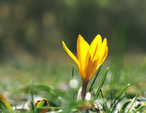 Crocus. Yellow crocus against a young green grass Royalty Free Stock Images