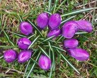 Crocus. Close up image of wild purple crocus flowers Stock Photo