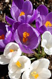 Crocus. White and purple crocuses on a february sunny day Royalty Free Stock Images