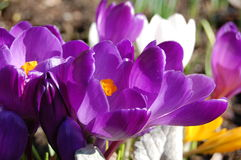 Crocus. White,yellow and purple crocuses on a february sunny day Royalty Free Stock Image