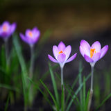 Crocus. Close up with space for text Stock Photos