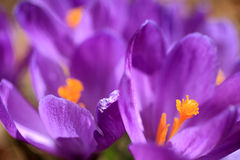 Crocus. Close up of purple Crocus Royalty Free Stock Photography