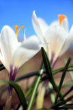 Crocus. Close up of two white Crocus Stock Images