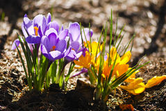 Crocus Royalty Free Stock Images