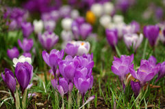 Crocus. A madow full of crocuses Royalty Free Stock Photography