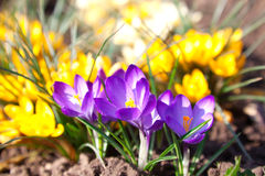 Crocus. Spring crocus flowers group in garden Stock Photo