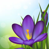 Crocus. Spring Flowers, Vector Illustration Stock Photos