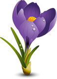Crocus. Beautiful Crocus isolated on white. EPS 8 Stock Photo